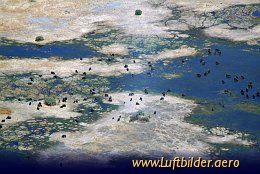 Aerial photo Herd of Buffalos in the Okavango Delta